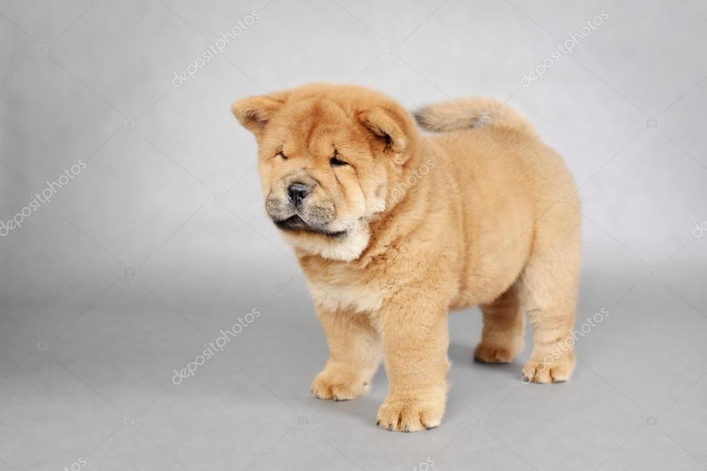 Ritratto di llittle chow chow cucciolo  Foto Stock  Foto