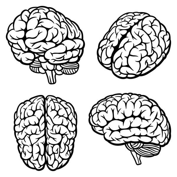 Human brain Stock Vectors, Royalty Free Human brain