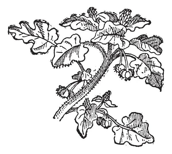 Helianthus annuus Stock Vectors, Royalty Free Helianthus