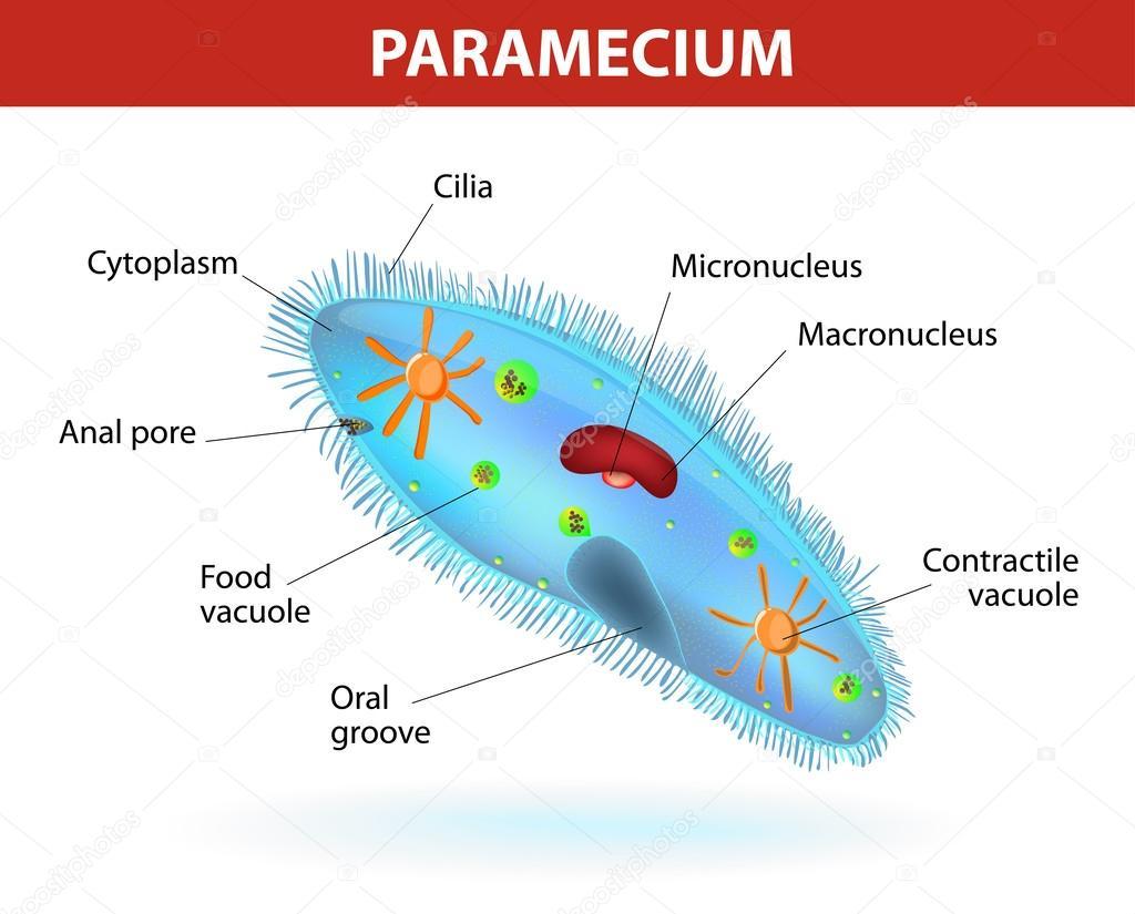 amoeba cell diagram origami container paramecium labeled free engine image