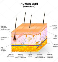 cross section human skin the skin a sensory organ with a dense network of nerves pressure vibration temperature pain and itching are transmitted via  [ 1024 x 1024 Pixel ]