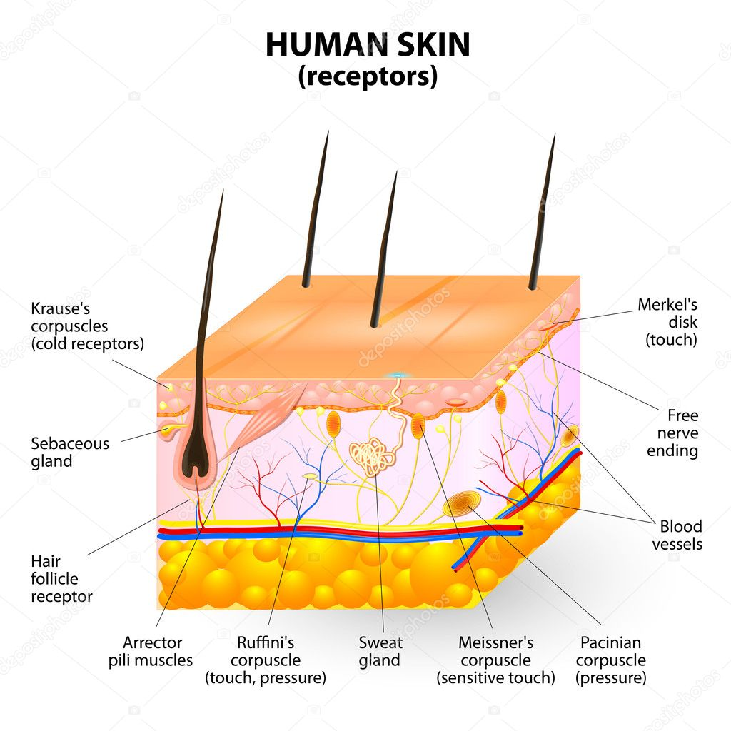 hight resolution of cross section human skin the skin a sensory organ with a dense network of nerves pressure vibration temperature pain and itching are transmitted via