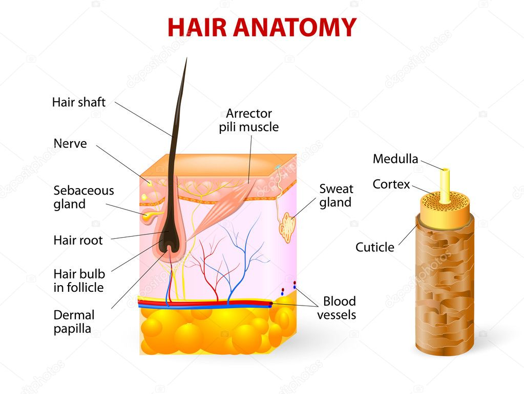 skin cross section diagram simple uml of a hair follicle in layers stock illustration