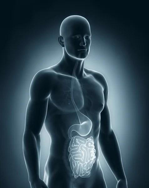 Male stomach - human digestive system — Stock Photo ...