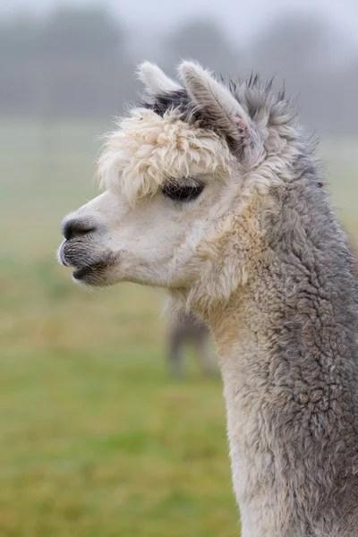 Alpaca Stockfotos Rechtenvrije Alpaca afbeeldingen