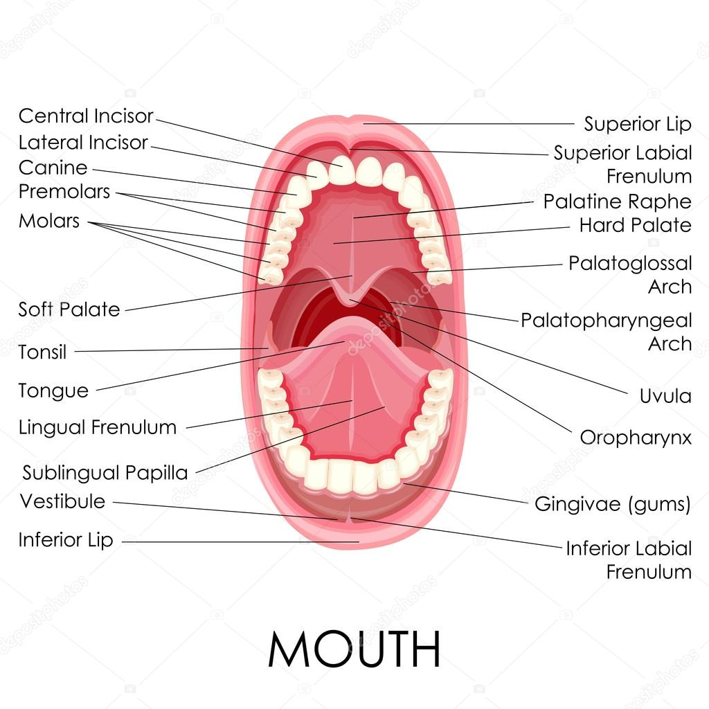 hight resolution of anatomy of human mouth stock vector