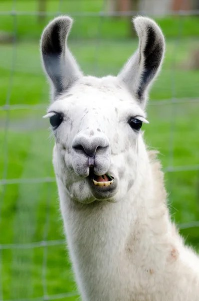 Funny Llama Pics : funny, llama, Llama, Funny, Stock, Pictures,, Royalty, Images, Download, Depositphotos®