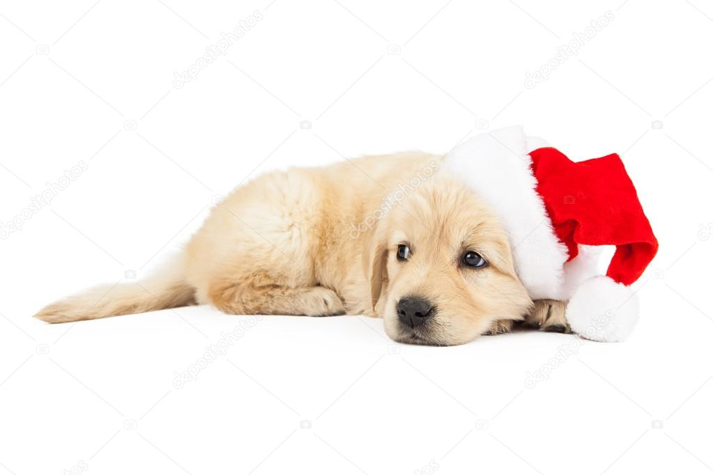Golden Retriever Puppy With Santa Hat Stock Photo