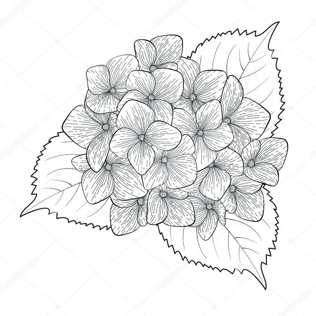Hortensia fleur monochrome, noir et blanc isolé — Image