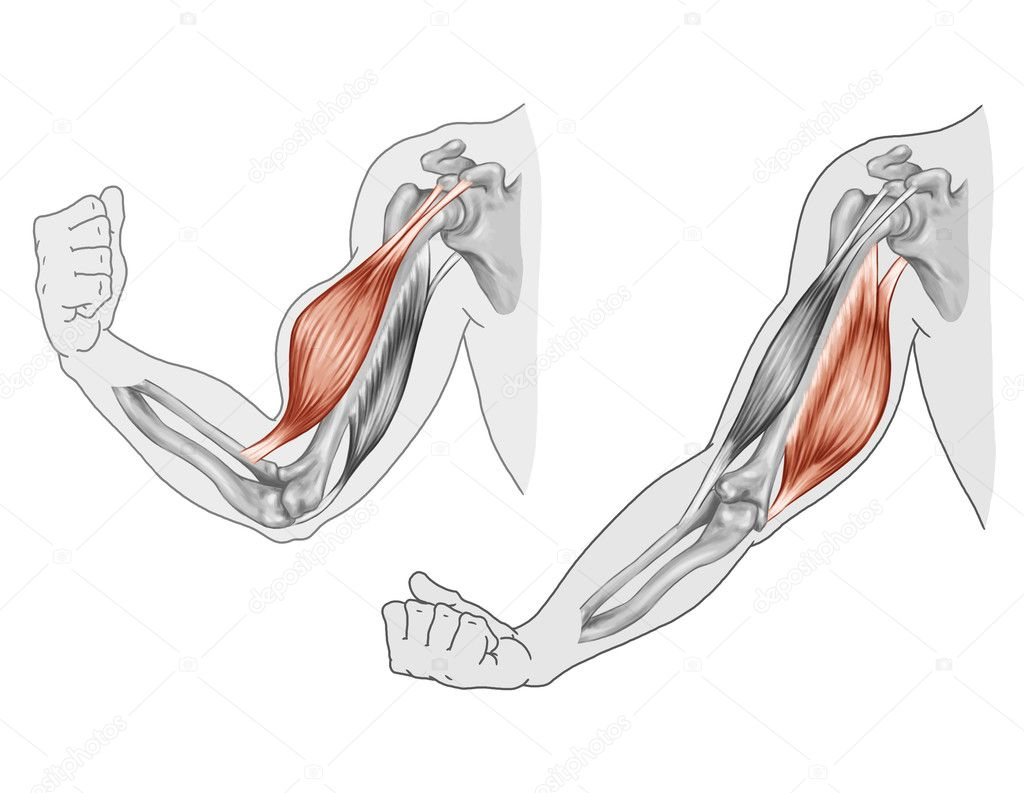 triceps brachii diagram nissan almera tino wiring biceps movement of the arm and hand muscles