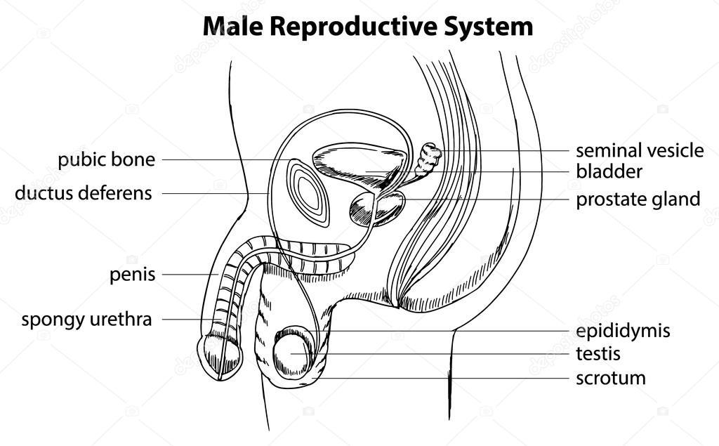 Male reproductive system — Stock Vector © blueringmedia