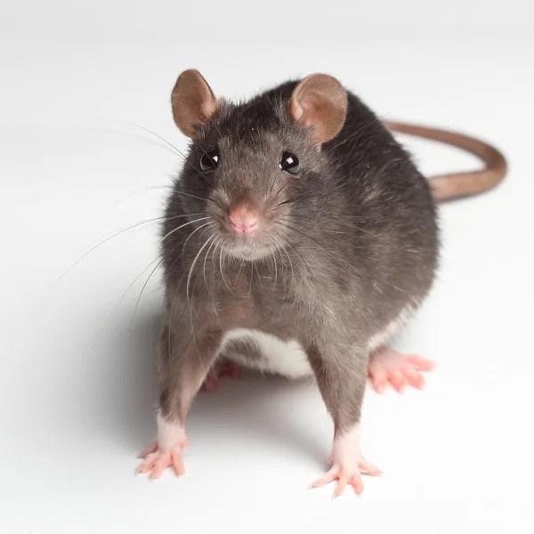 白老鼠 — 圖庫照片©VitalisG#29708771
