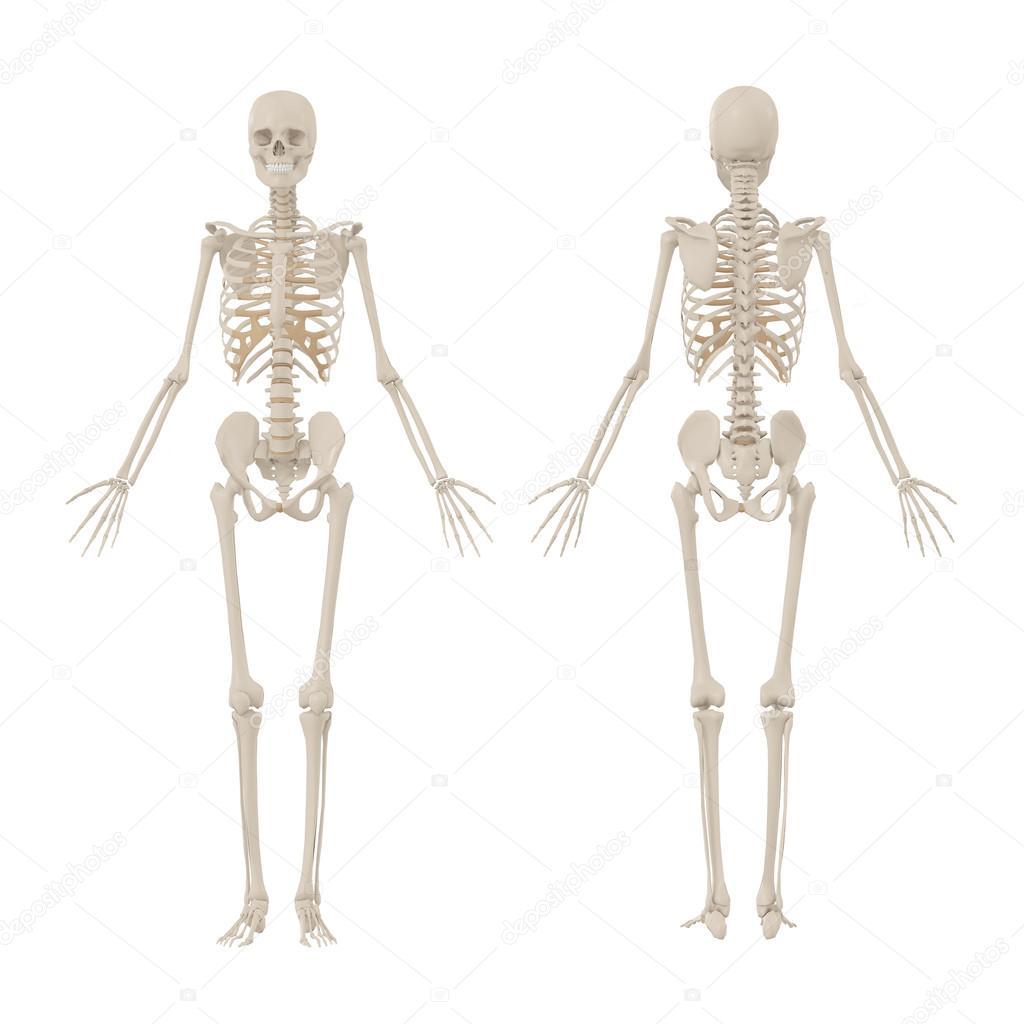 Male Vs Female Skeletal Structure