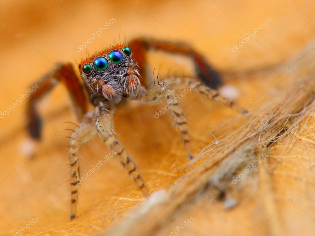 spanish jumping spider saitis