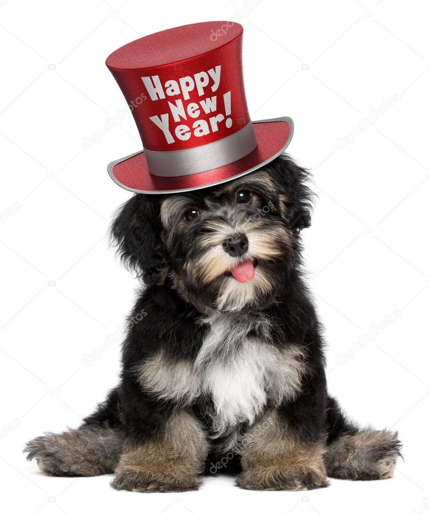 Cute Havanese Puppy Dog Is Wearing A Happy New Year Top