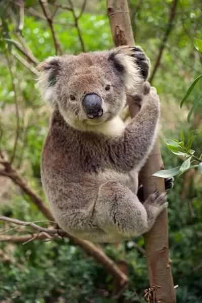 Áˆ Koalas Stock Pictures Royalty Free Koala Images Download On Depositphotos