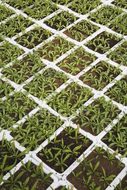 seedlings growing in trays