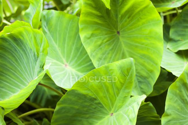 big round green leaves