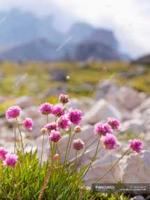 Europe Italy Wild Flowers In National Park Of Sesto