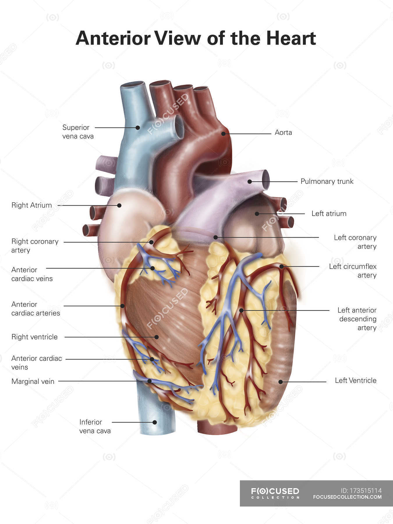 Heart Anatomy Diagram Without Labels