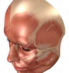 anatomy of human face muscles stock photos [ 1350 x 1800 Pixel ]