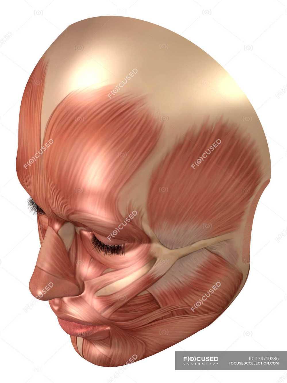 medium resolution of anatomy of human face muscles stock photos
