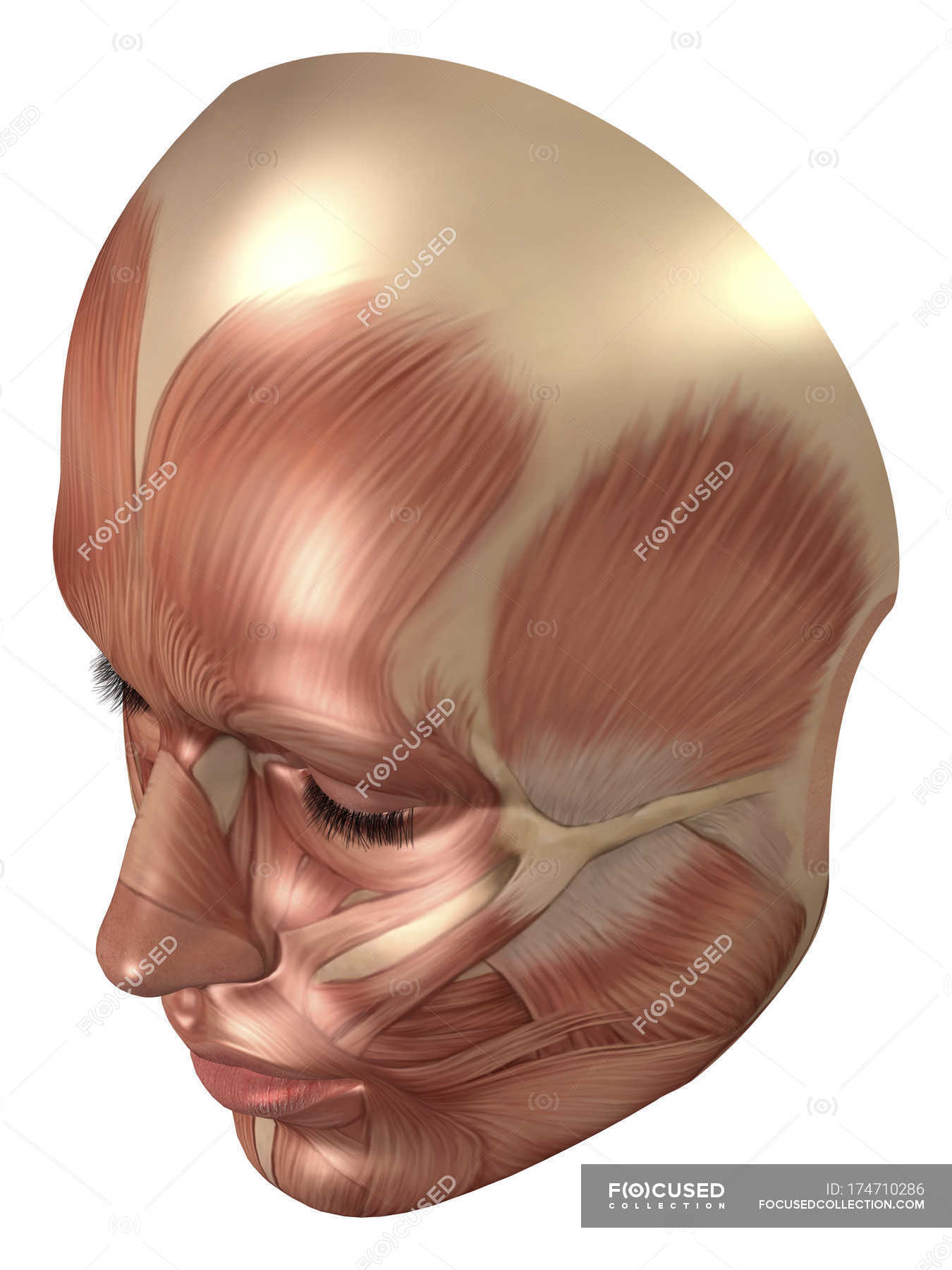 hight resolution of anatomy of human face muscles stock photos