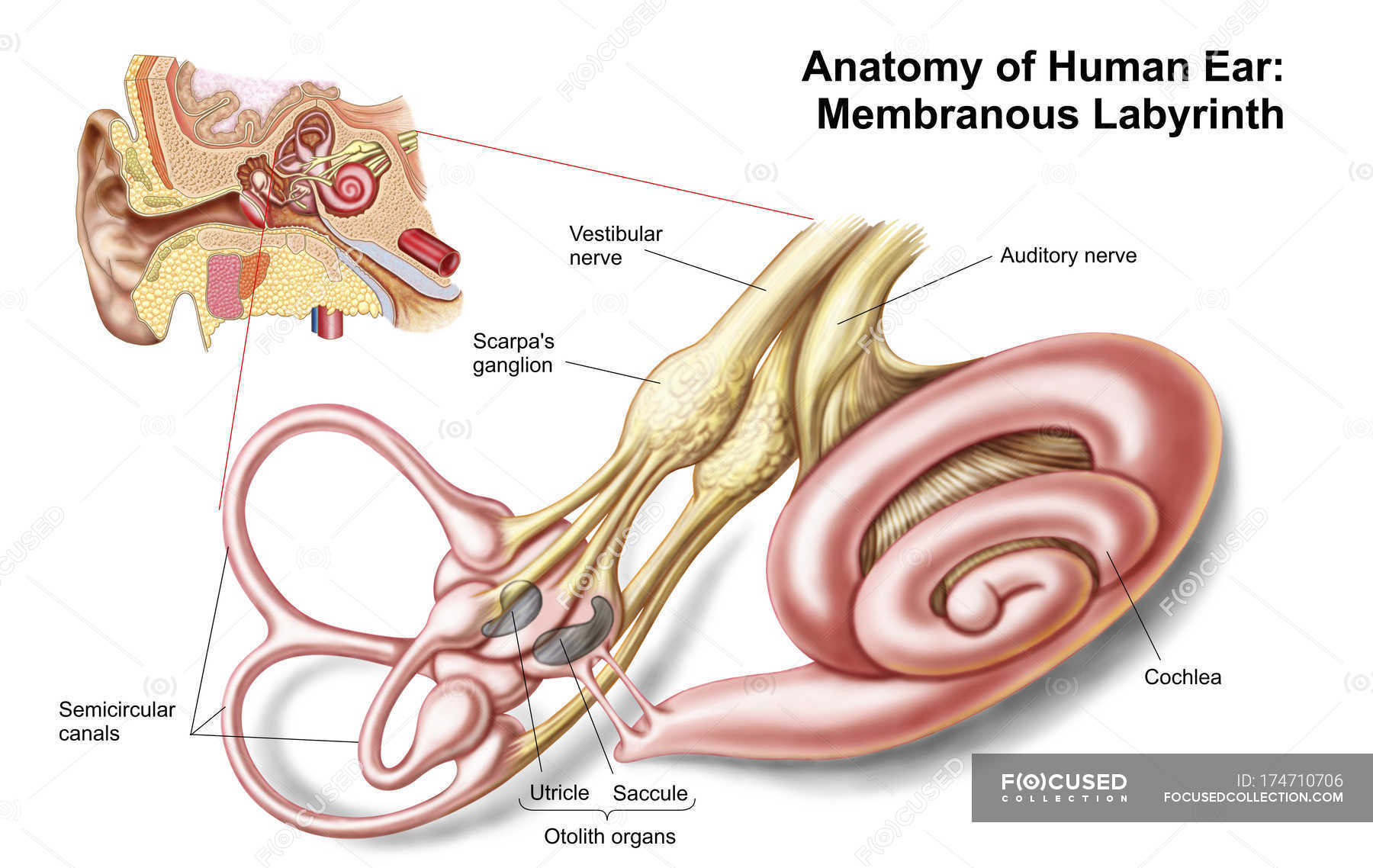 hight resolution of anatomy of human ear with membranous labyrinth stock photos