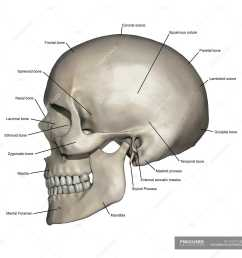 lateral view of human skull anatomy with annotations stock photos [ 1800 x 1800 Pixel ]