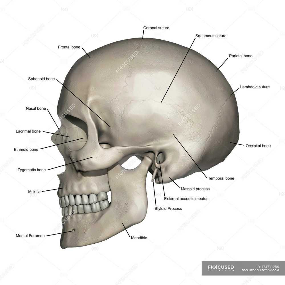 medium resolution of lateral view of human skull anatomy with annotations stock photos