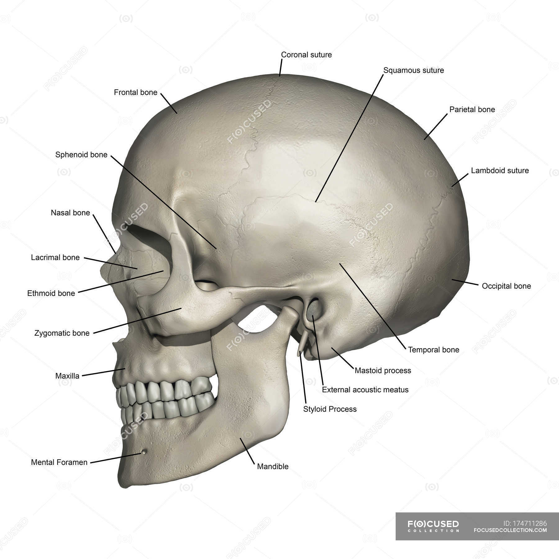 hight resolution of lateral view of human skull anatomy with annotations stock photos