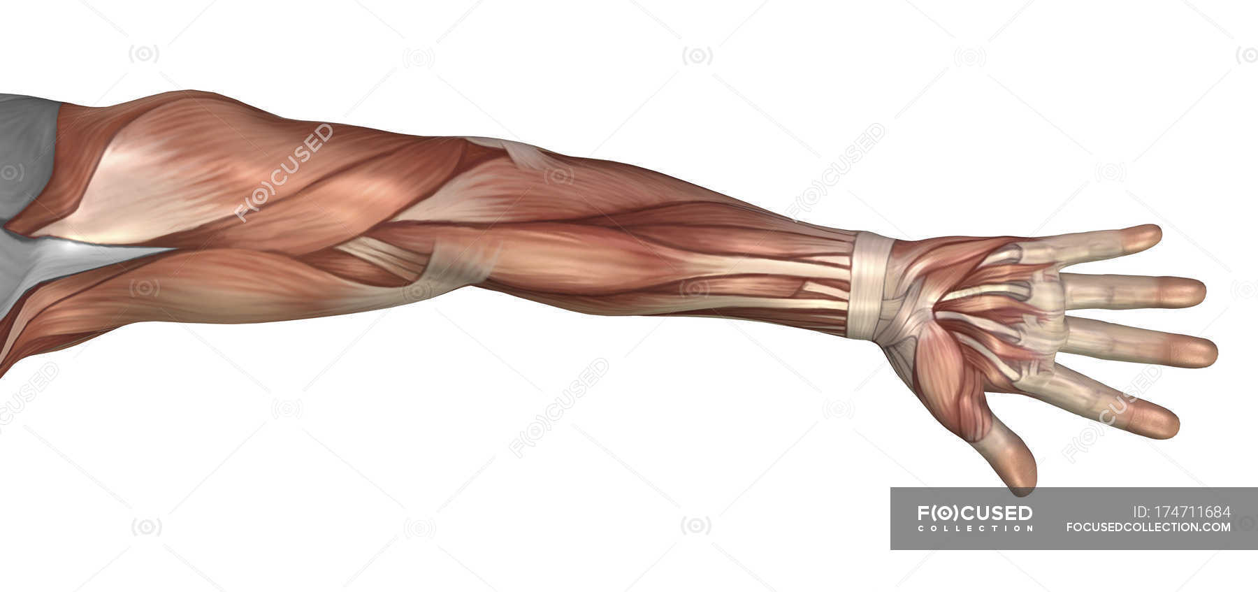 hight resolution of muscle anatomy of the human arm stock photos