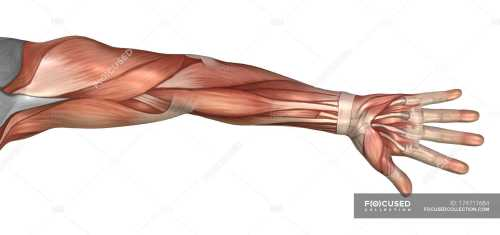 small resolution of muscle anatomy of the human arm stock photos