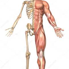 Human Skeleton And Muscles Diagram Atomic Symbol Medical Illustration Of The Muscular System Front View Full Length Stock Photo 174711812