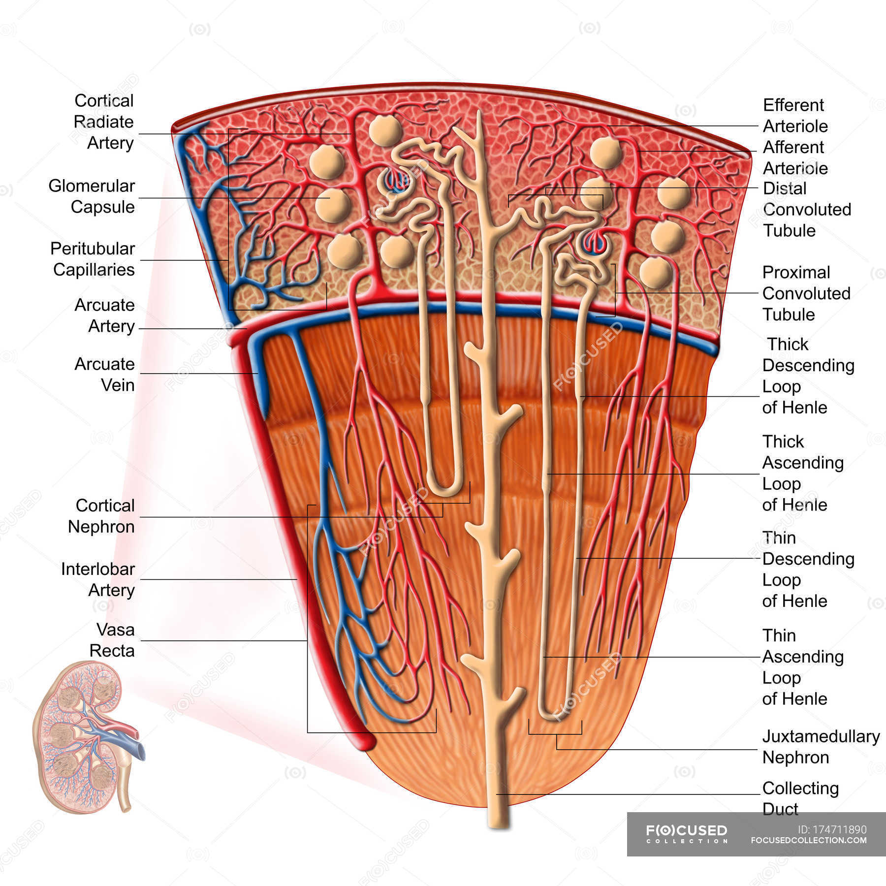 Anatomy Of Human Kidney Function With Labels
