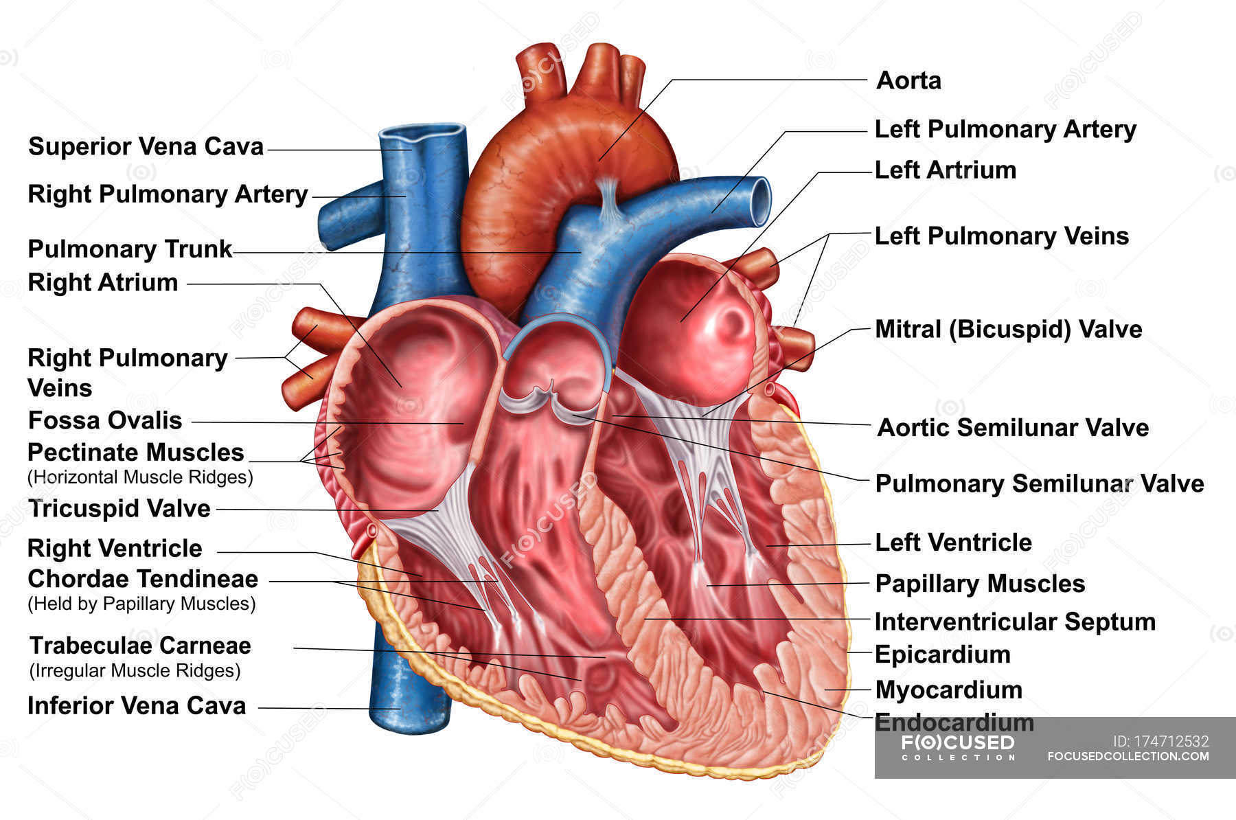 Anatomy Of Heart Interior With Labels