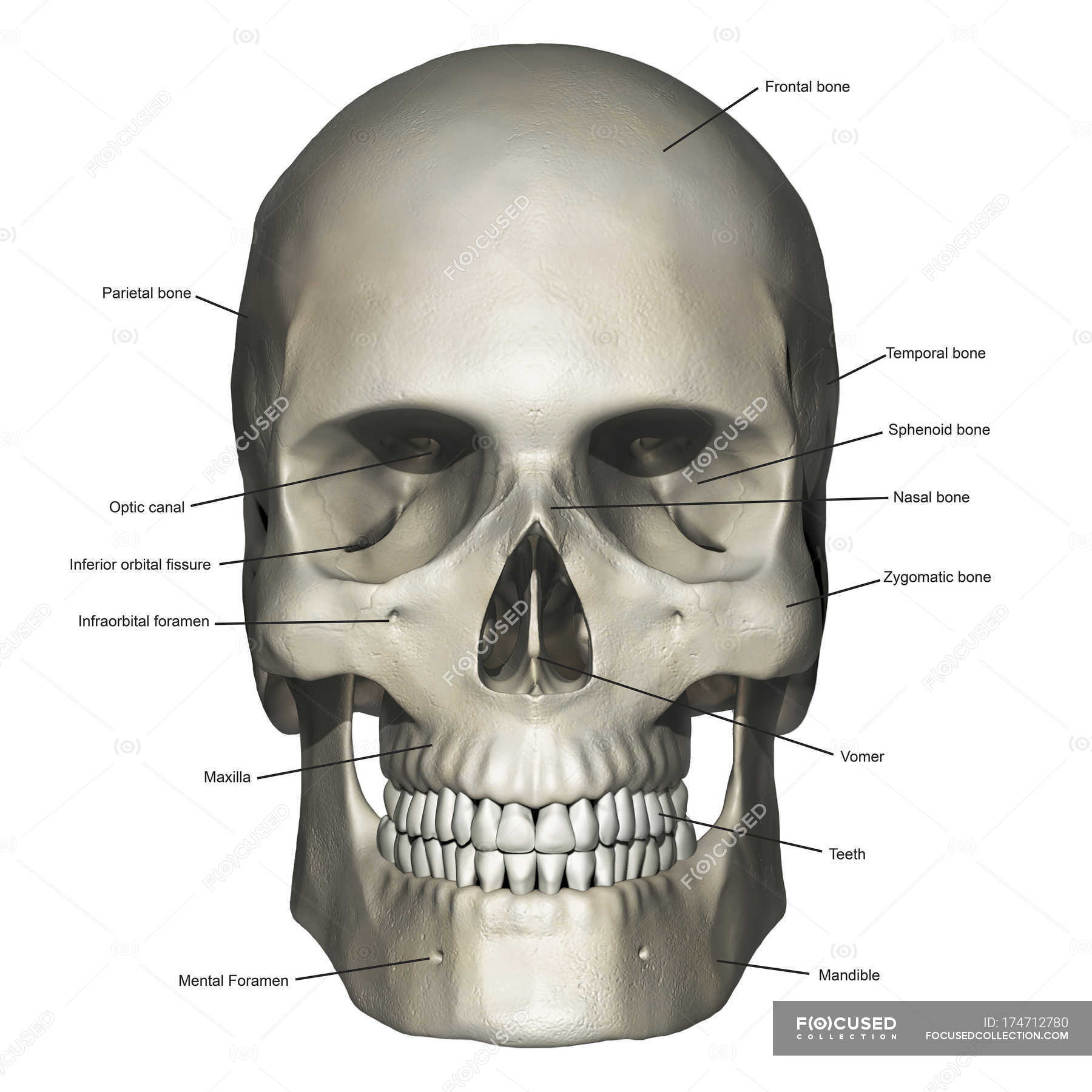 Anterior View Of Human Skull Anatomy With Annotations