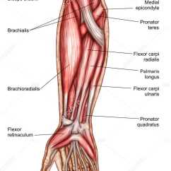 Muscles In Your Arm Diagram Ford Focus 2005 Wiring Anatomy Of Human Forearm With Labels  Stock Photo