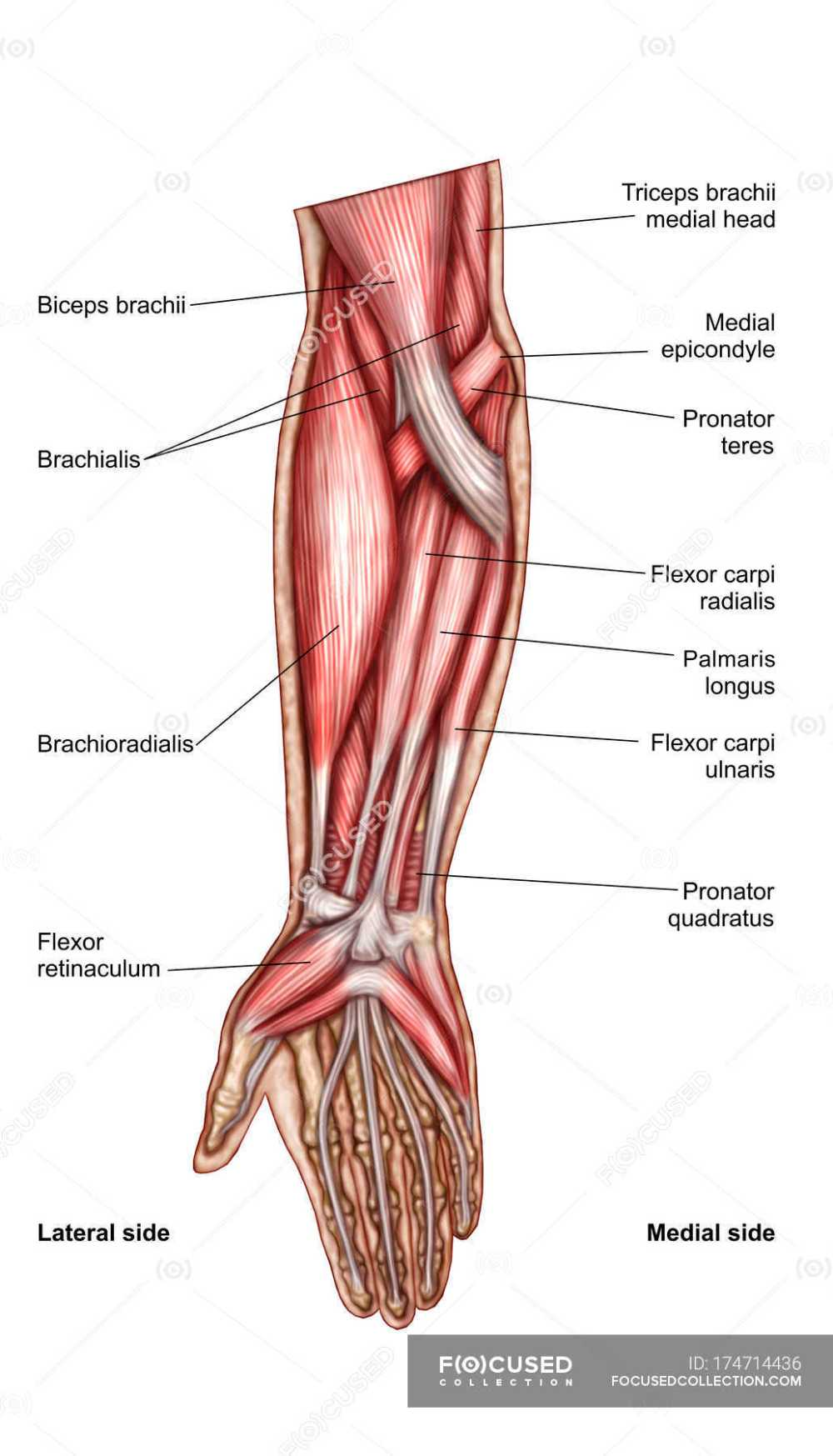 medium resolution of anatomy of human forearm muscles with labels stock photos