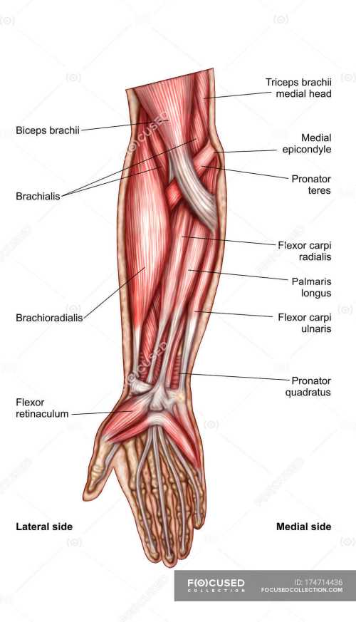 small resolution of anatomy of human forearm muscles with labels stock photos