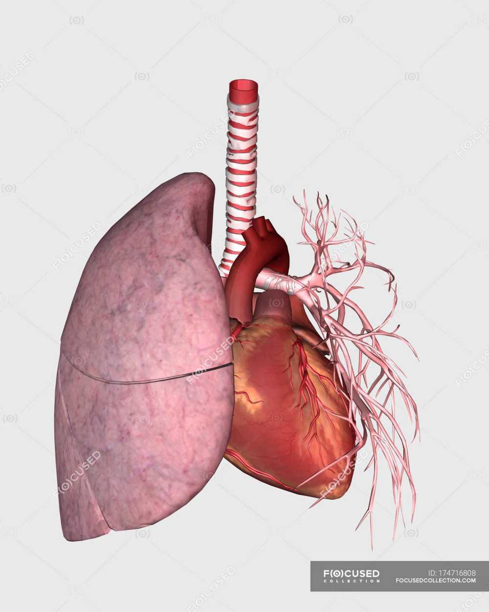 medium resolution of pulmonary circulation of human heart and lung stock photos