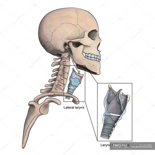 small resolution of lateral larynx and skeletal anatomy with mid sagittal larynx view stock photos