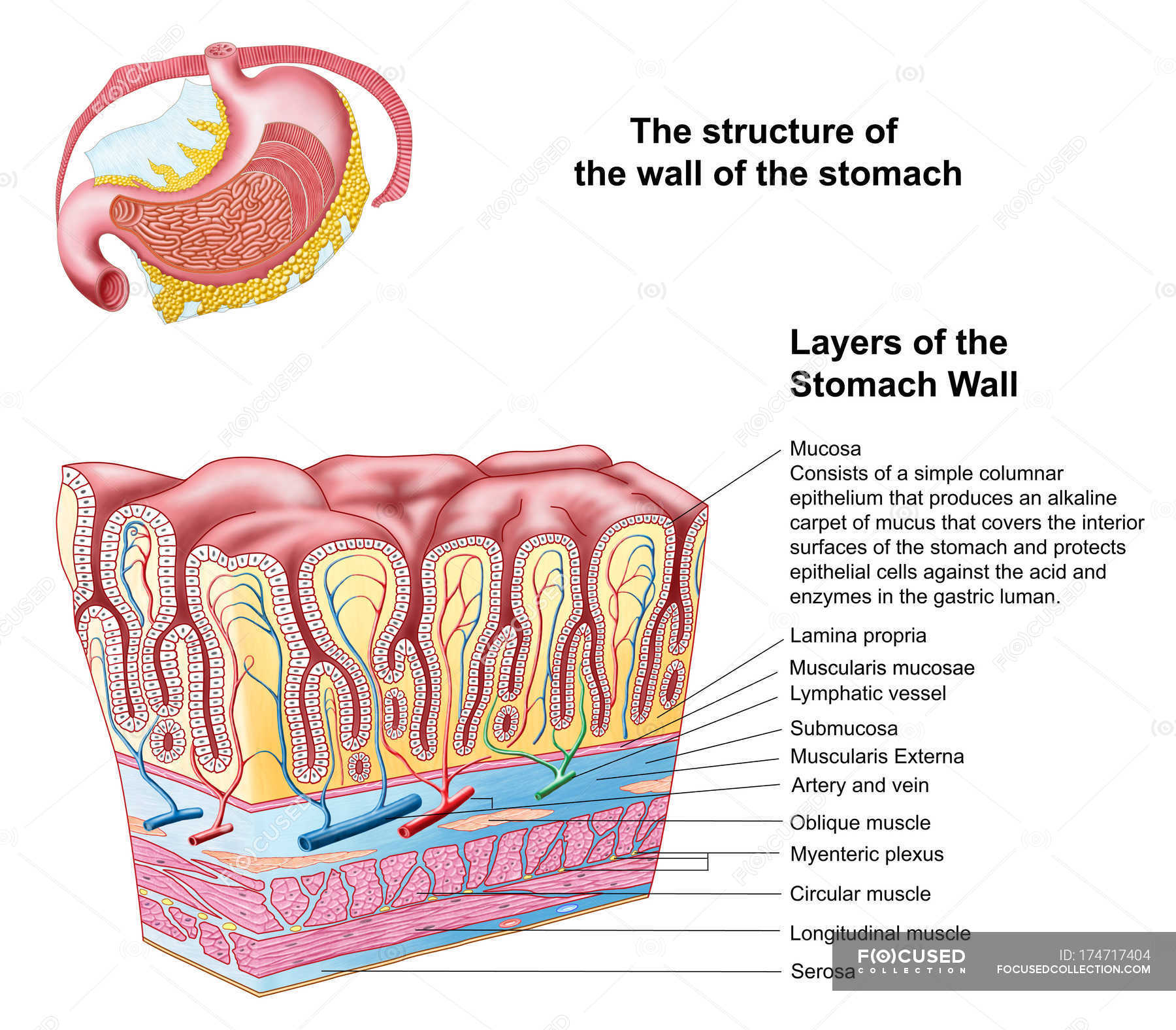 hight resolution of anatomy of the structure and layers of the stomach wall stock photos