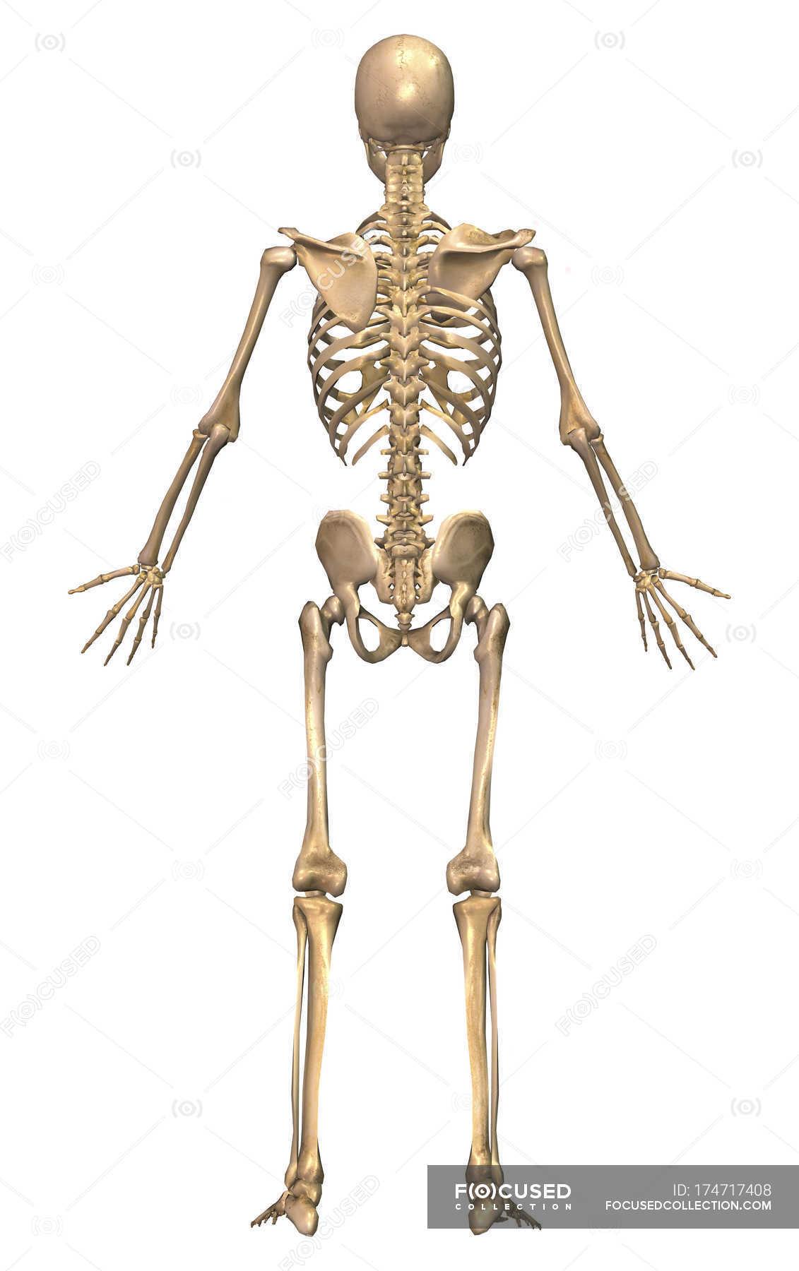 Back View Of Human Skeletal System