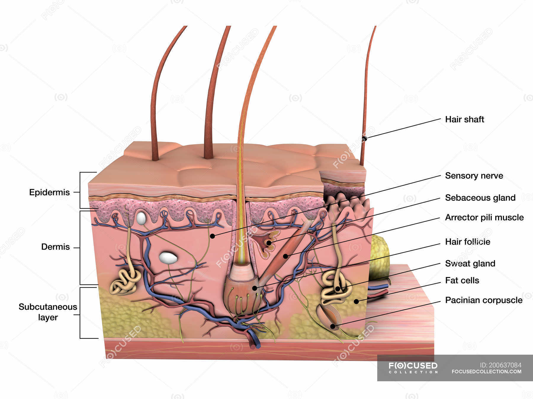 Cross Section Anatomy Of Skin With Labels On White