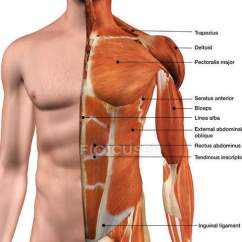 Skeletal Muscle Diagram Labeled Directv Swm Internet Anterior Chest Great Installation Of Wiring Male Thoracic Wall Muscles On White Rh Focusedcollection Com Anatomy Posterior View