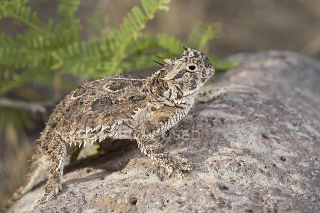 horned lizard standing on