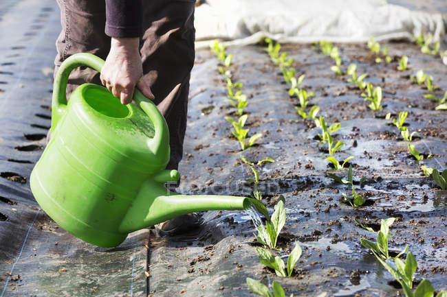 person watering seedlings watering