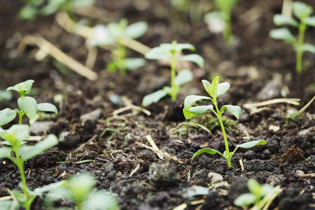 young seedlings in soil