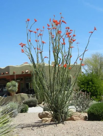 great design plant ocotillo